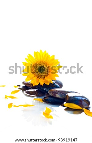 A close up of a yellow sunflower sitting on a group of rocks in water with a white background.