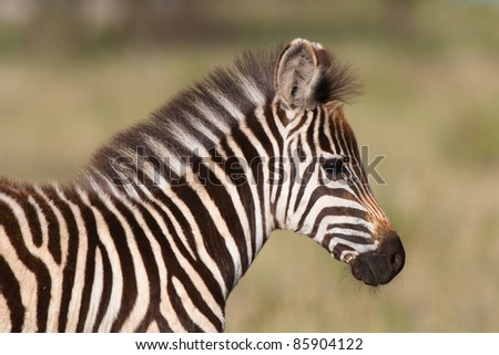 A close up of a young burchell's zebra foal