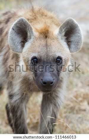 A close up of a young spotted hyena