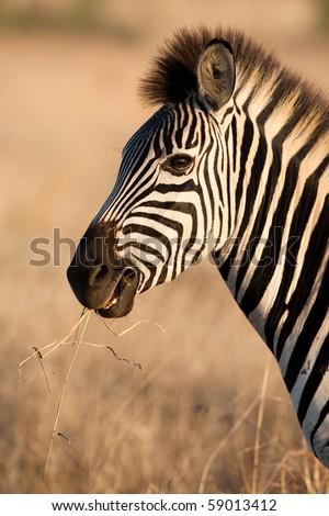 A close up of a zebra chewing a piece of grass