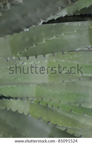 A close up of agave plant.