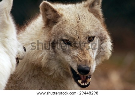 A close-up of an adult female wolf (canis lupus) snarling at another wolf