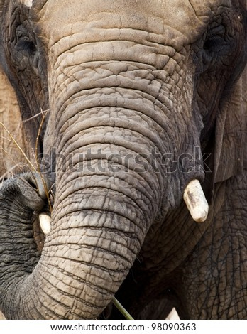 A close up of an african elephant feeding