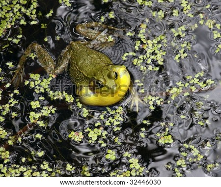 A close-up of an American Bullfrog (Rana catesbeiana) making its distinctive croaking sound