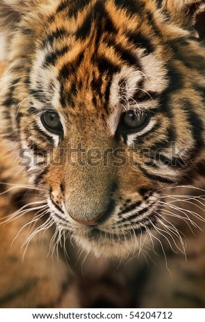 A close-up of an amur (Siberian) tiger (panthera tigris) - stock photo