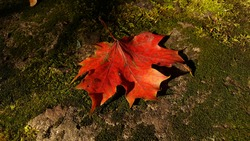 A close-up of an autumn maple leaf with all shades of red, from almost yellow to scarlet and dark brown, in the yellow light of the autumn sun on a stone overgrown with green moss.