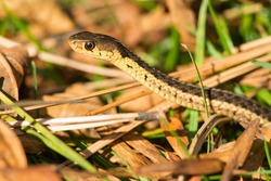 A close up of an Eastern Garter Snake (subspecies of Common Garter Snake) slithering through the leaf litter. Ashbridges Bay Park, Toronto, Ontario, Canada.