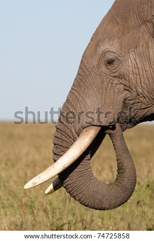 A close up of an elephant's head showing a curled trunk