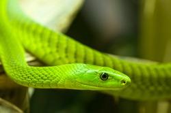 a close-up of an green mamba