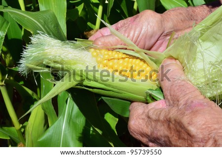 A close up of an old man hands holds a corn. - stock photo