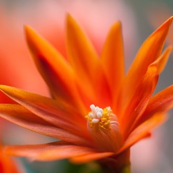 A close-up of an orange Easter cactus bloom.
