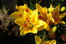 A close up of bicolor lilies of the 'Grand Cru' variety (Asiatic lily) in the garden on a sunny morning. A golden-yellow, lightly speckled lilies with a red splotch on each petal