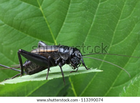 A close up of black cricket on leaf.