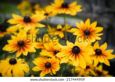 find free maryland state flower images stock photos and