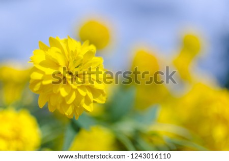 A close up of bright sunny yellow flower named cut-leaved coneflower Rudbeckia laciniata. Against the blurred background of blue sky and yellow flowers.