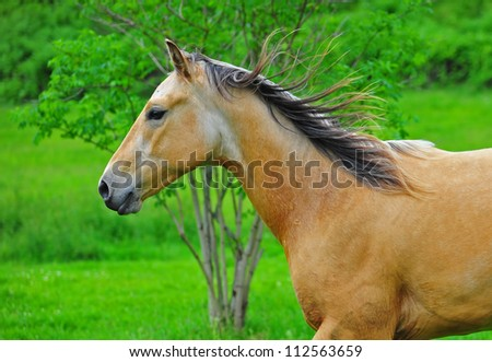 A close up of chestnut stallion running with a tree and lush green grass in the back ground.