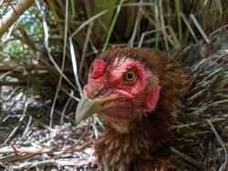 A close-up of hen face. A brown hen was laying eggs under a weed tree on the ground with blurred trees on background. Selective focus on hen face.