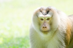 a close up of monkey face look straight to camera with space leaving for caption and blurry background