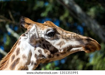 A close-up of one giraffe's head #1351351991