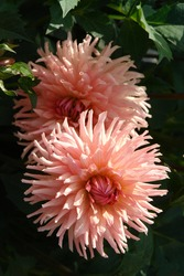 A close up of peachy-pink Dahlia flowers of the 'Preference' variety, growing in a garden. Pink-salmon blossoms of semi-cactus dahlia, natural dark green background
