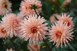 A close up of peachy-pink Dahlia flowers of the variety 'Preference', growing in a garden. Soft pink-salmon blossoms of semi-cactus dahlia