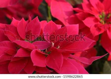 A close up of pink poinsettia flowers Beautiful, bright, poinsettia in sunlight.pink poinsettia christmas.christmas pink poinsettia