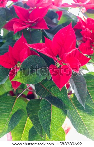 A close up of poinsettia blossoms on a poinsettia plant.