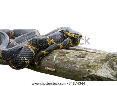 A close up of Schrenck's rat snake (Elaphe schrenckii) on log. - stock photo