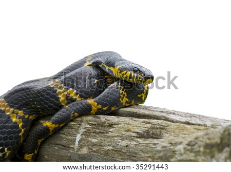 A close up of Schrenck's rat snake (Elaphe schrenckii) on log.