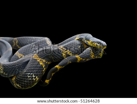 A close up of Schrenck's rat snake (Elaphe schrenckii) on log. Isolated on black.