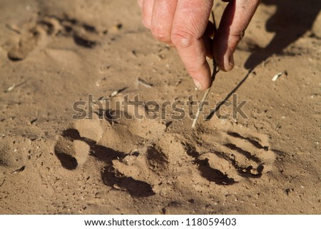 A close up of someone pointing out the characteristics of a fresh baboon track in the sand - stock photo