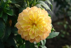 A close up of summer peachy-yellow decorative Dahlia of the 'Happy Go Lucky' variety in the garden, natural dark background