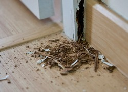 A close-up of termites in a house and the damage they caused.