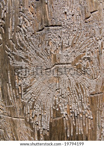A close-up of texture of dry old tree with the many dints of bark beetles on surface.