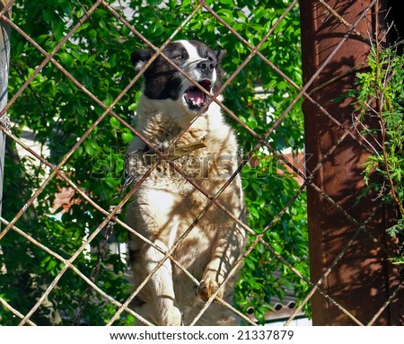 A close up of the barking angry husky after a fence.