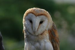 A close-up of the beautiful barnowl
