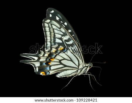 A close up of the butterfly swallowtail (Papilio xuthus). Isolated on black.