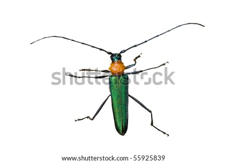 A close up of the Capricorn beetle (Cerambycidae). Isolated on white.
