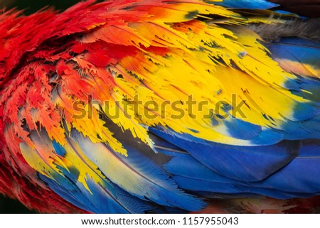 A close up of the colorful red, yellow, and blue feathers of a scarlet macaw (Ara macao) parrot, famous across Central America and South America, and the national bird of Honduras, Latin America. #1157955043