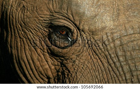 A close up of the face of an african elephant showing the details of the skin and eye of this incredibly wise mammal.
