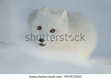 Stock Photo A close up of the face of an Arctic Fox in winter, showing their typical deep chestnut brown eyes.