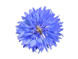 A close up of the flower of medicinal herb cornflower (Centaurea cyanus) with bee on petals. Isolated on white.