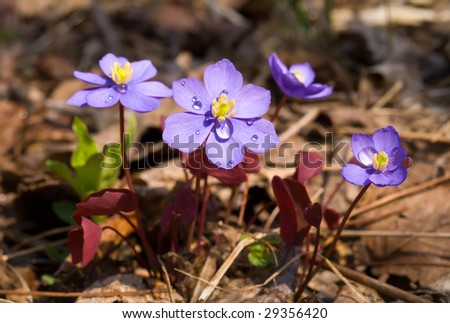 Free photos the small blue flowers jeffersonia dubia early spring a close up of the flowers jeffersonia dubia of early spring with drops of the small blue mightylinksfo