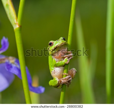 A close up of the frog hyla (Hyla japonica) on stem of iris.
