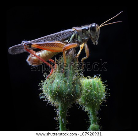 A close up of the grasshopper on flower bud. Isolated on black.