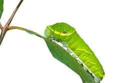 A close up of the green caterpillar on leaf. Isolated on white.