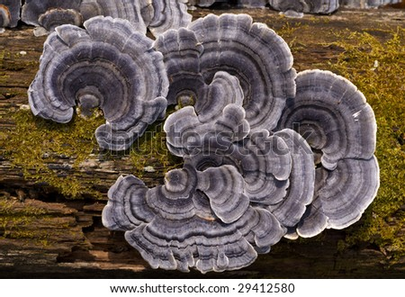 A close up of the mushrooms tinders on dead trunk of tree. #29412580