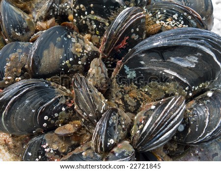 A close up of the mussels.