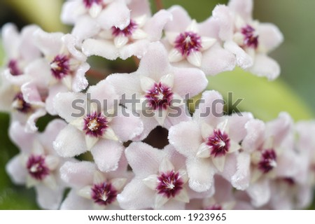 A close-up of the pink flowers of the Hoya Carnosa