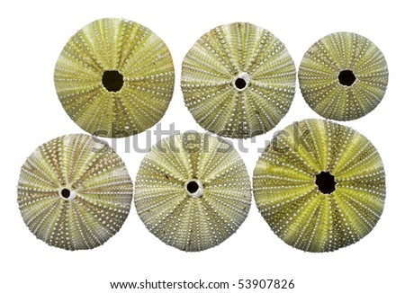 A close up of the skeletons of the sea-urchins. Isolated on white.